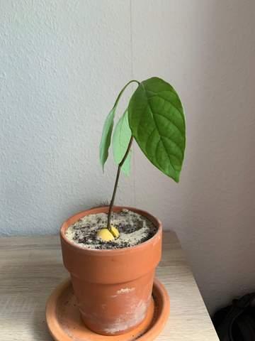 Avocado wächst spärlich?