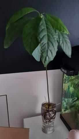 Avokado Pflanze kürzen?