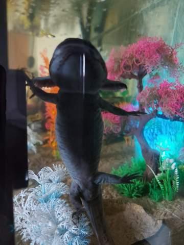 Axolotl Geschlecht erkennen?