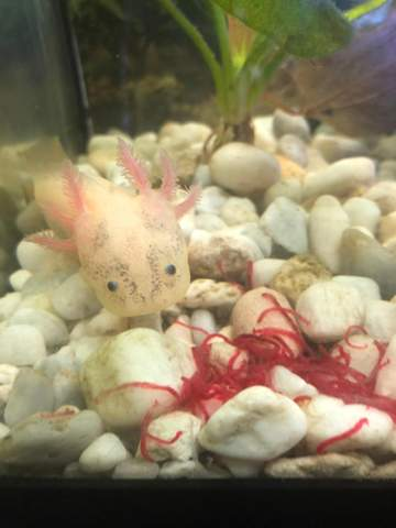 Axolotl hat schwarze Pünktchen am Kopf bekommen?