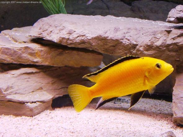 baby fische malawi sterben warum tiere aquarium. Black Bedroom Furniture Sets. Home Design Ideas