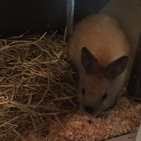 Speedy das 7 Wochen alte männchen  - (Haustiere, Kaninchen, Baby Kaninchen)