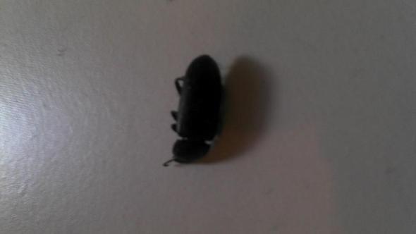 Käfer - (Tiere, Haus, Insekten)