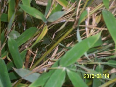Bambus Blätter Mit Weißem Flaum Krankheit Pflanzen Schädlinge