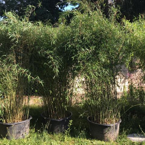 Bambus  - (Garten, Bambus, Nachbarschaftsrecht)