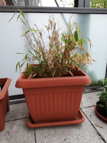 Bambus nach Winter, stirbt?