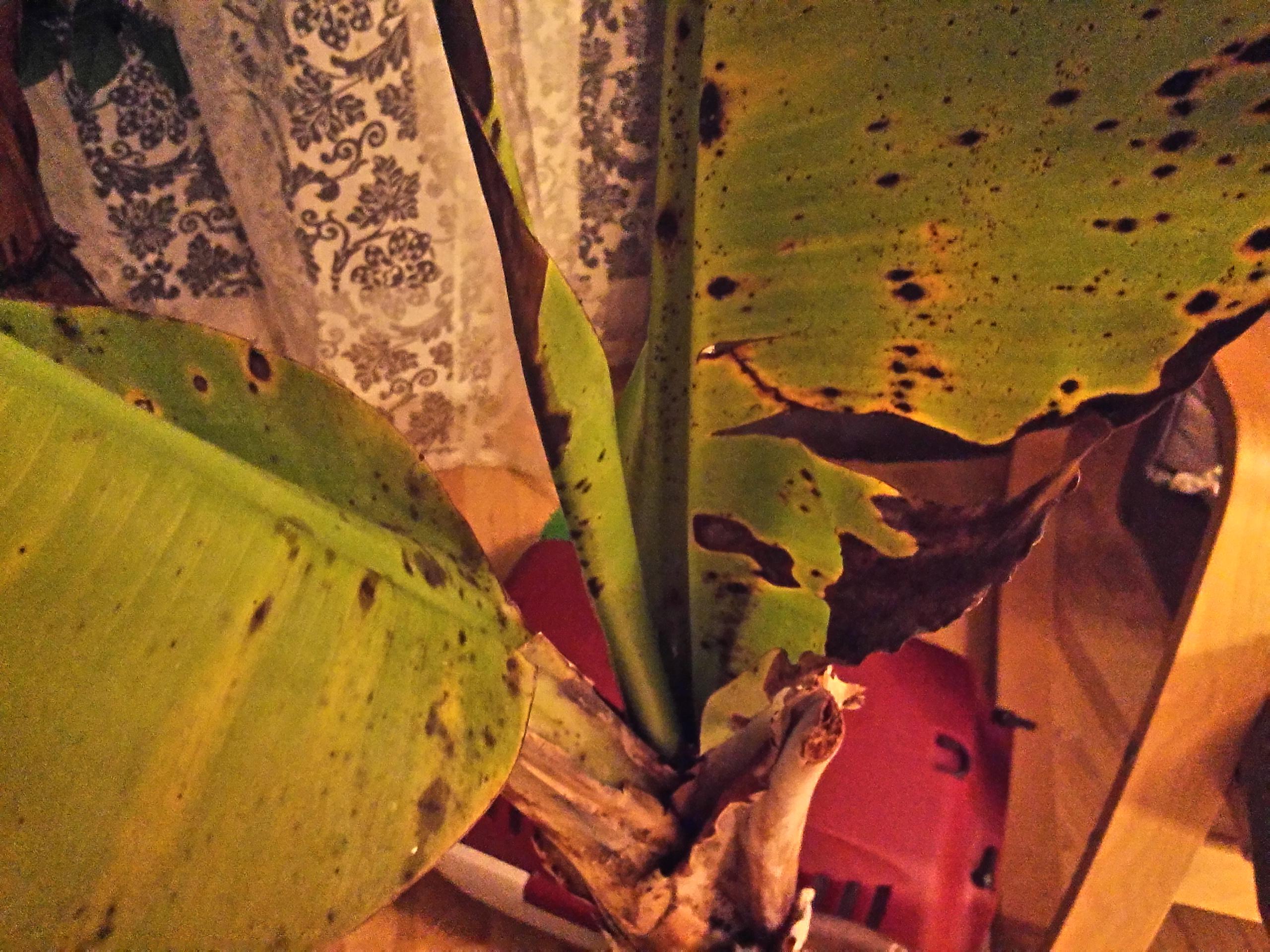 warum hat die bananenpflanze schwarz braune flecken gesundheit biologie pflanzen. Black Bedroom Furniture Sets. Home Design Ideas