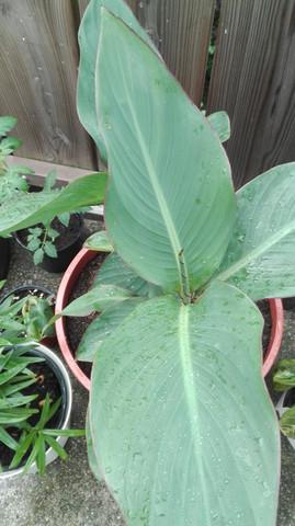 Und hier - (Pflanzen, Bananenbaum)