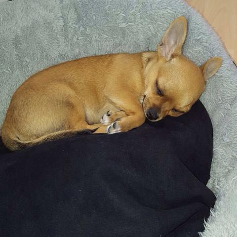 """das ist mein kleiner """"peanut"""" (11 wochen alt) reinrassiger chihuahua rüde - (Hund, Welpen, Futter)"""