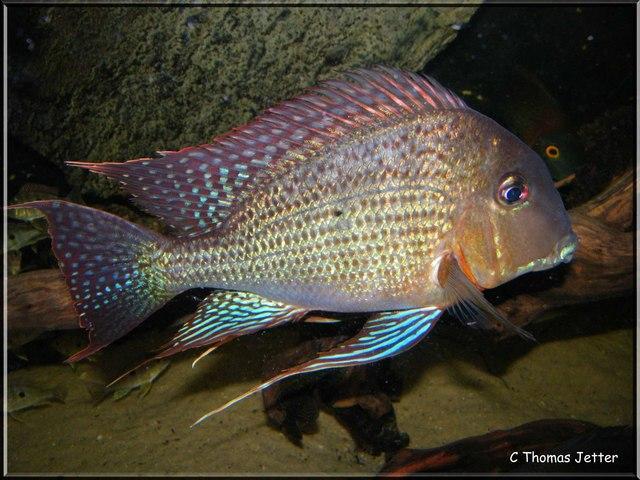 Aquarium haltung kosten quallen haltung im aquarium for Japanischer kampffisch
