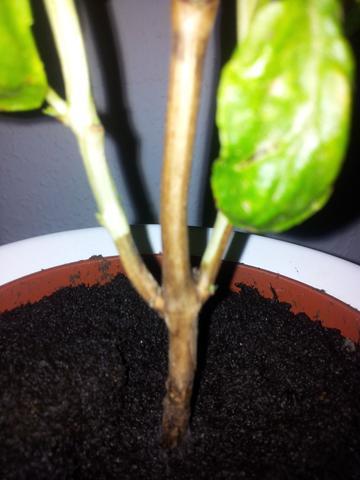 basilikum berwintern stamm verholzt garten pflanzen botanik. Black Bedroom Furniture Sets. Home Design Ideas
