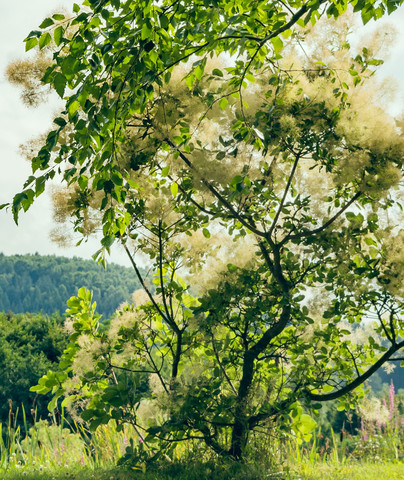 Baum - (Natur, Baum, Bestimmung)