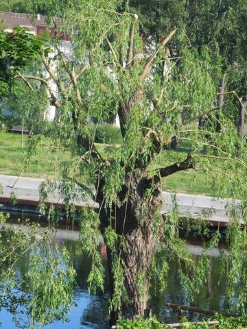 Weide - (Landschaft, Baumschnitt, Baumpflege)
