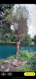 Baumschnitt Weide?