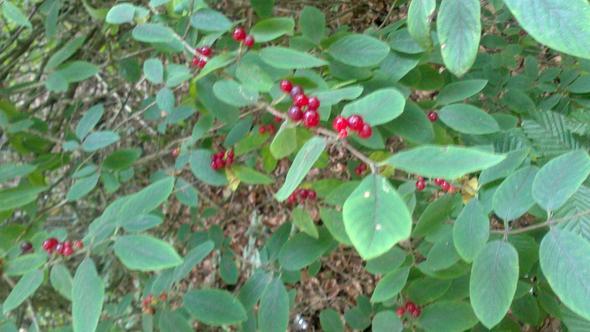 beere pflanze sieht aus wie rote johannisbeere giftig. Black Bedroom Furniture Sets. Home Design Ideas