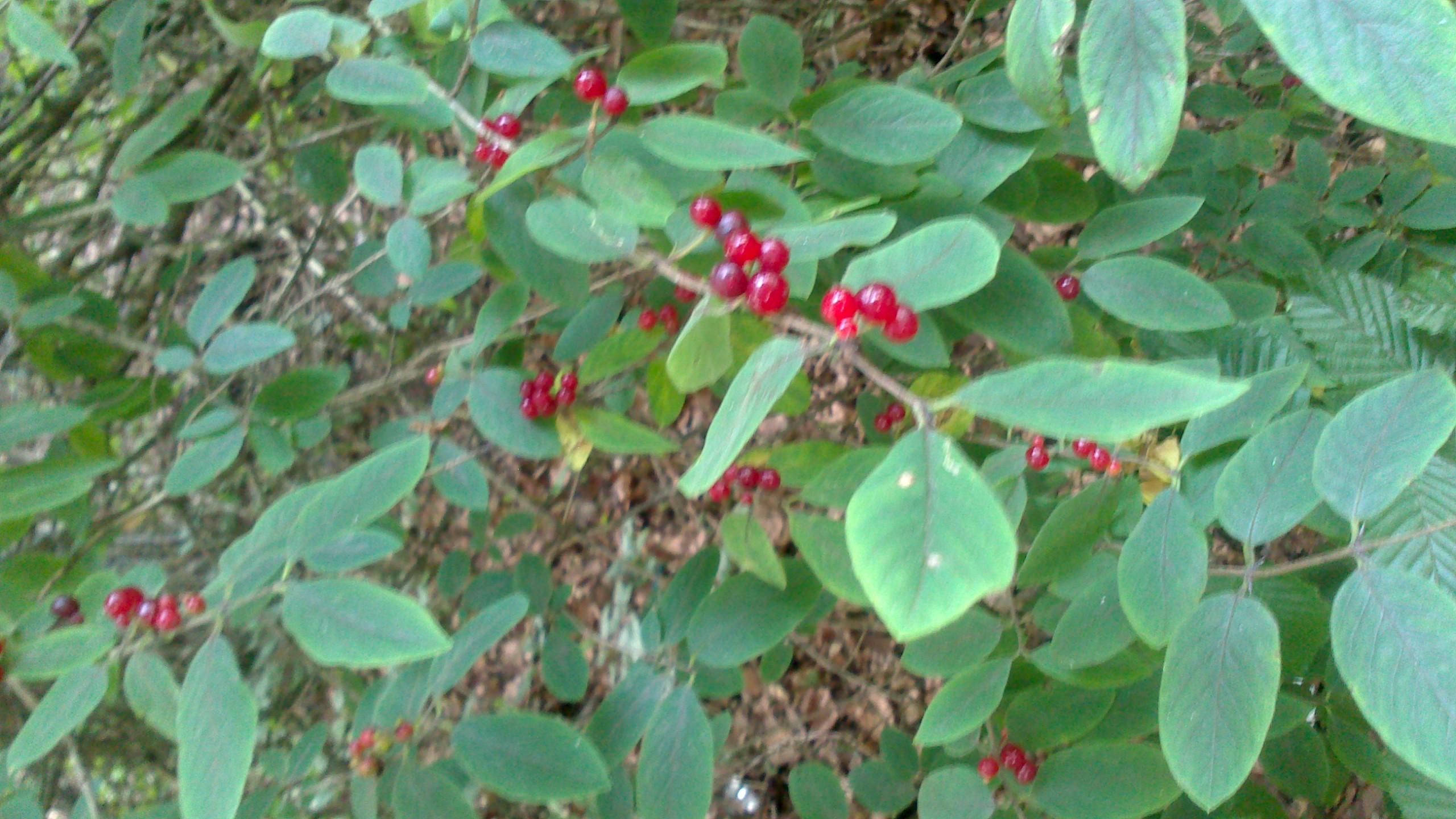 Beere Pflanze Sieht Aus Wie Rote Johannisbeere Giftig Gesundheit