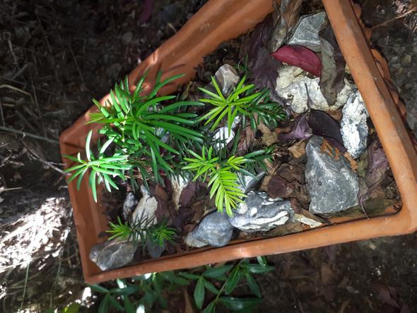 Bei mir im Garten wachsen Ableger, die wie Eiben aussehen, sind das welche und woher kommen sie?