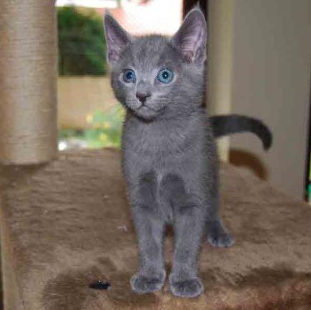 Russisch blau katze  - (Katze, Bengal Katze, russisch-blau-katze)