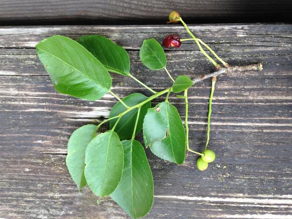 Blatt und Frucht - (Garten, Pflanzen)