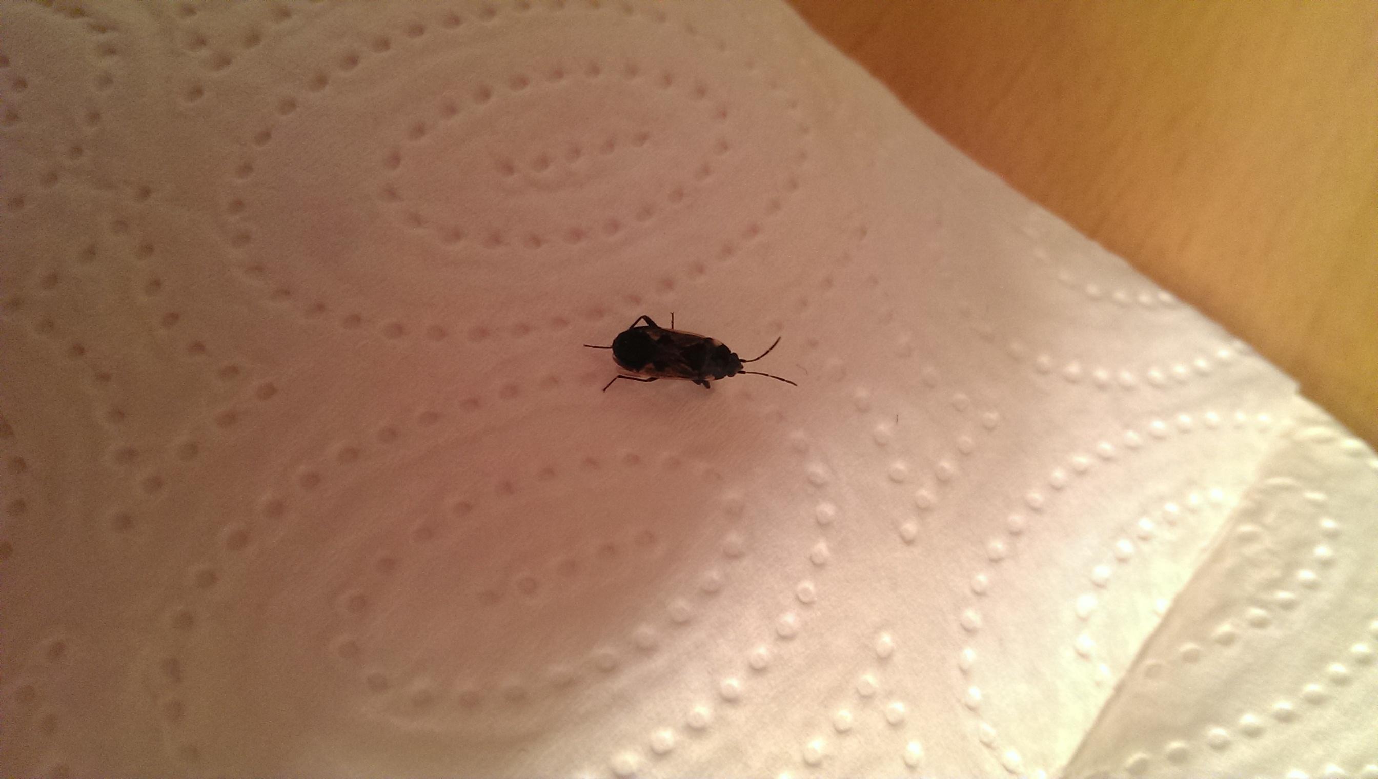 bettwanze aussehen ungeziefer parasiten bettwanzen. Black Bedroom Furniture Sets. Home Design Ideas