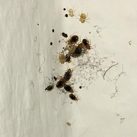 bettwanze oder staublaus insekten bettwanzen. Black Bedroom Furniture Sets. Home Design Ideas