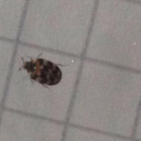 bettwanzen gefunden sind diese das auch insekten k fer. Black Bedroom Furniture Sets. Home Design Ideas