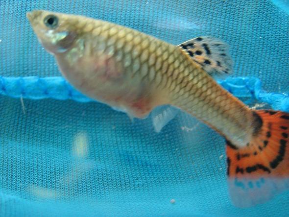 Fisch - (Krankheit, Fische)