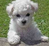 Bichon Frise  - (Hund, Entscheidung)