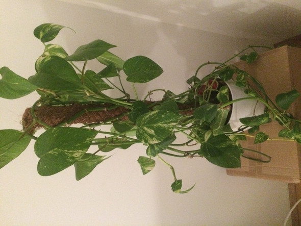 bild ist unten ist diese pflanze giftig f r meine samtpfoten katzen pflanzen. Black Bedroom Furniture Sets. Home Design Ideas