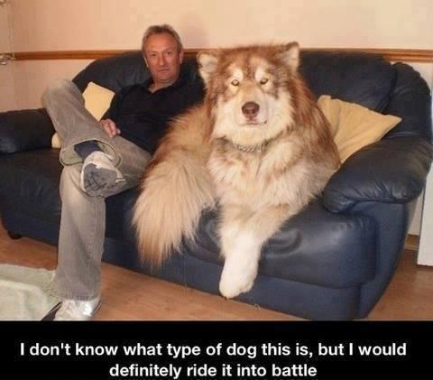 diese rasse ist gesucht - (Hund, Rasse, Wolf)