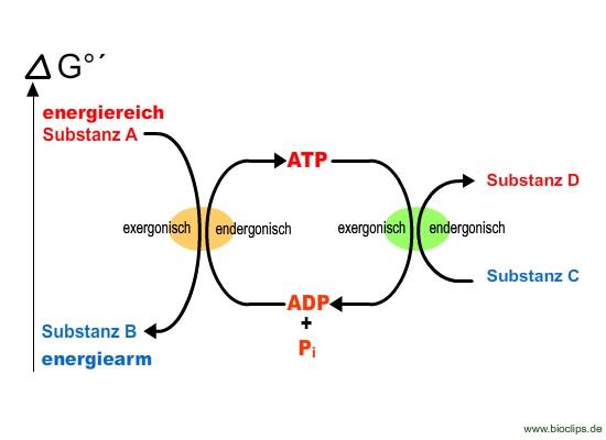 ATP Bildung - (Schule, Biologie)