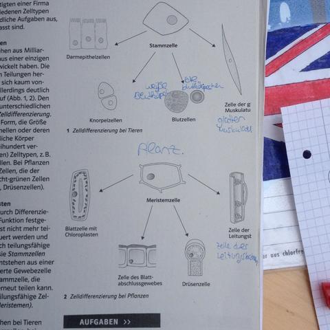 Biologie,Differenzierung von Zellen etc. (Aufgabe)