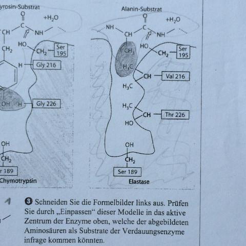 Enzym 2 - (Schule, Chemie, Biologie)