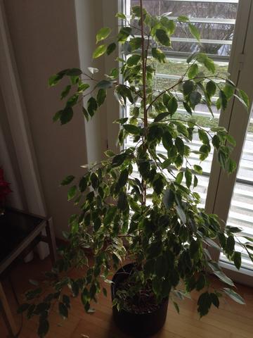 birkenfeige verliert bl tter und weist merkw rdige wurzeln auf was tun pflanzen pilze botanik. Black Bedroom Furniture Sets. Home Design Ideas