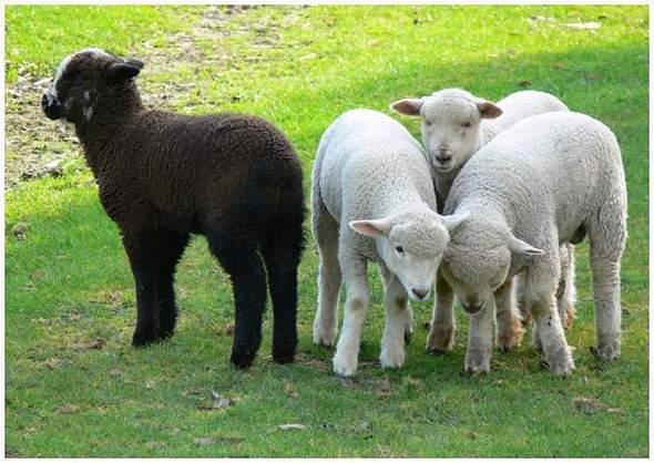 Bist/warst du das Schwarze Schaf?
