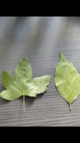 Blätter - (Blatt, Herbarium)