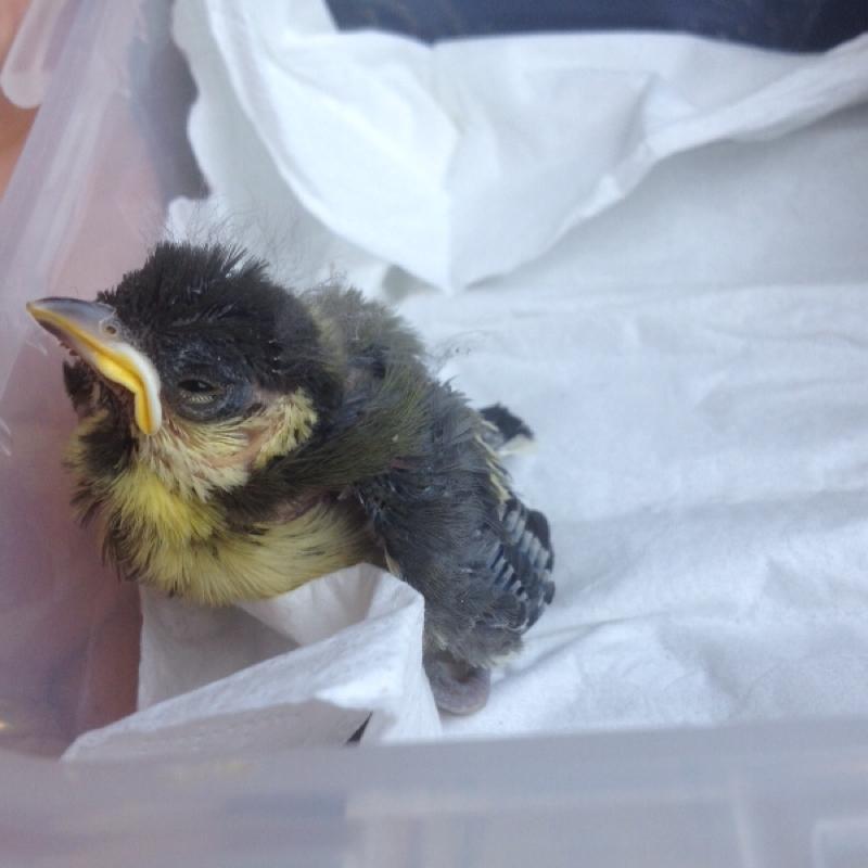 bitte hilfe baby vogel aus nest gefallen tiere v gel. Black Bedroom Furniture Sets. Home Design Ideas