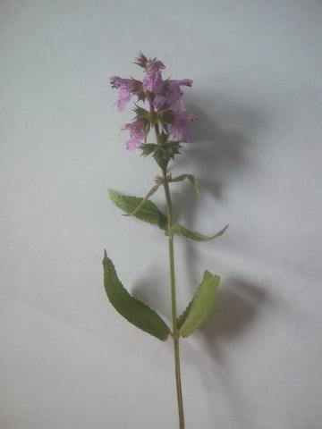 Kraut - (Pflanzen, Kräuter)