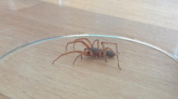 Spinn2 - (Spinnen, Spinne, gliederfüßer)