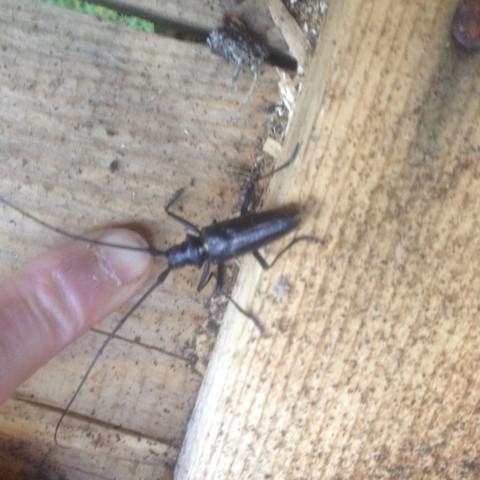 Schon öfter gesehen aber was ist das für ein hübscher Käfer ?  - (Natur, Kaefer, raupe)