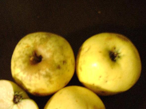 Bitteräpfel2 - (Garten, Apfel, Obstbaum)
