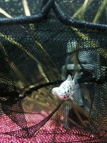 Bild 2 - (Fische, Aquaristik, Black Molly)