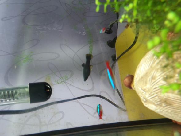 mein Black molly - (Fische, Aquarium)