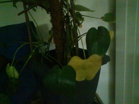 bl tter werden gelb zimmerpflanzen. Black Bedroom Furniture Sets. Home Design Ideas