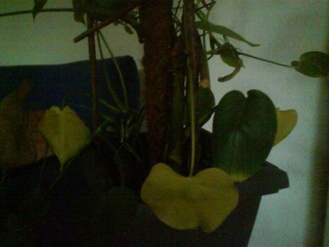 Z.-Pflanze - (Zimmerpflanzen, Blaetter)
