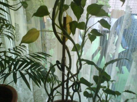 bl tter werden gelb zimmerpflanzen blaetter. Black Bedroom Furniture Sets. Home Design Ideas
