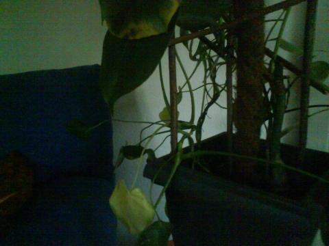 - (Zimmerpflanzen, Blaetter)