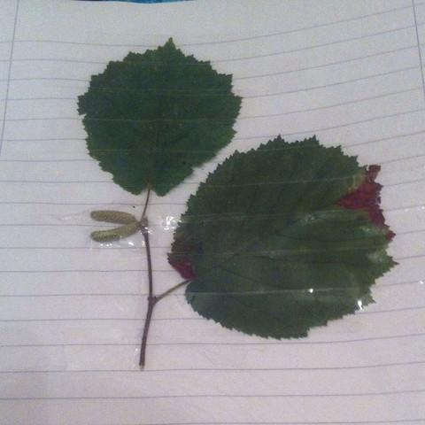 Grauerle? - (Baum, Blatt, Herbarium)
