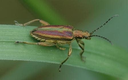 Hier der Blattkäfer - (Angst, Insekten)