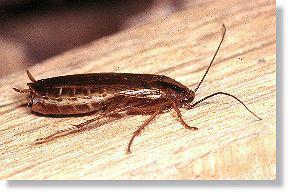 Hier die Kakerlake - (Angst, Insekten)